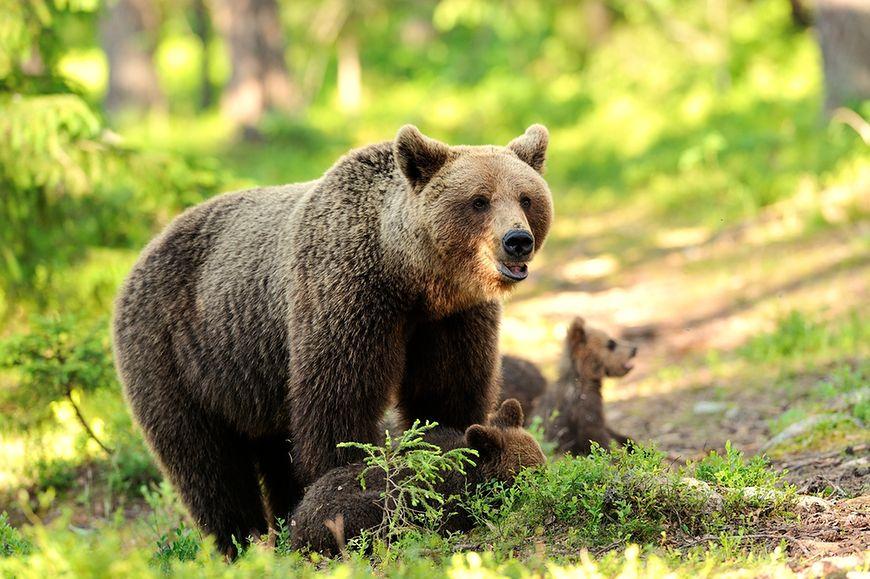 Nie uciekaj przed niedźwiedziem