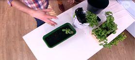Możesz wyhodować zioła i warzywa na parapecie. Zobacz, jak to zrobić