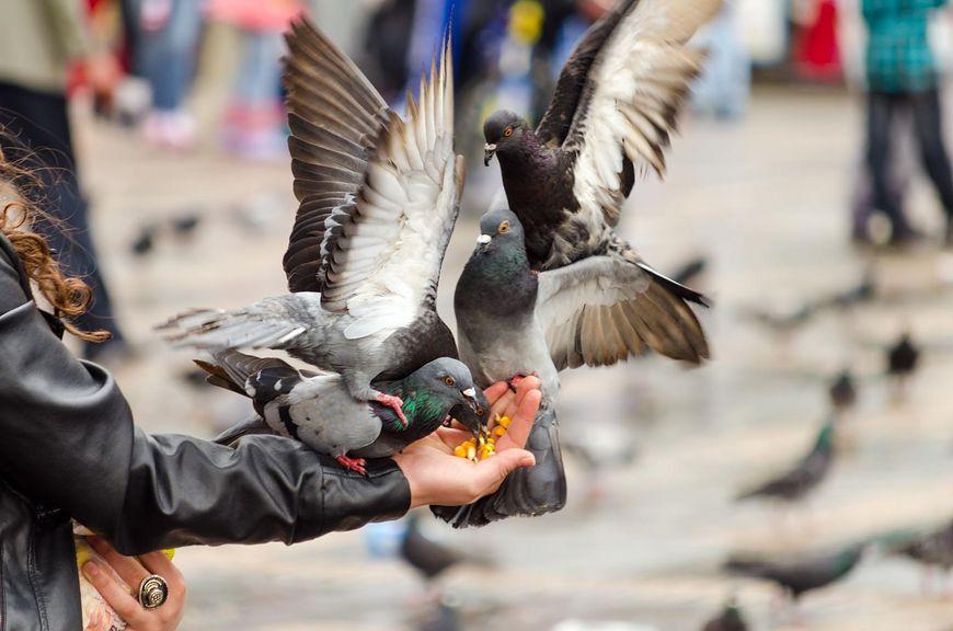 kobieta karmiąca gołębie [123rf.com]