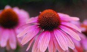 Jeżówka purpurowa - działanie, pochodzenie, zalecenia, przeciwwskazania