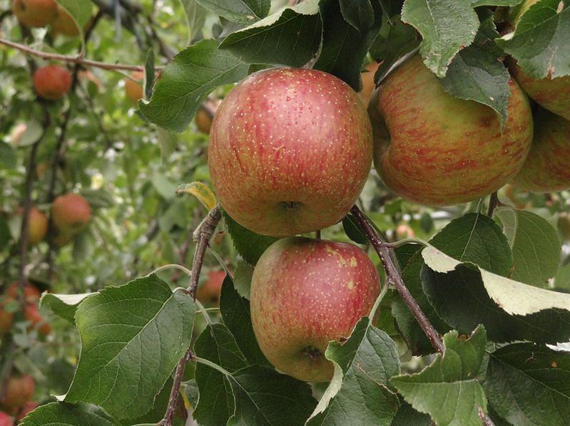 Polskie jabłka delikates są bardzo zdrowe