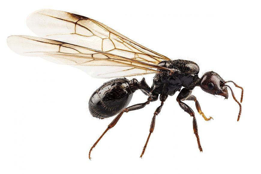 Dowiedz się, czym są skrzydlate mrówki