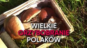 Wielkie grzybobranie Polaków. Zdjęcia czytelników WP (WIDEO)