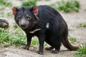 Diabeł tasmański – torbacz słynący z wydawania nietypowych odgłosów. Co je, gdzie żyje i jak wygląda?