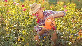 Podlewanie roślin podczas upałów. Łatwo popełnić błąd i je zniszczyć (WIDEO)