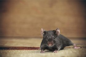 Szczur - gatunki, choroby, zwalczanie, szczur domowy (klatka, oswajanie)