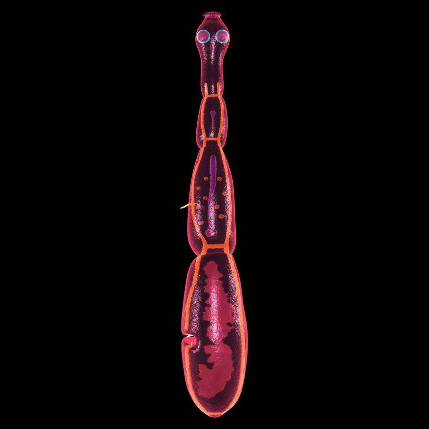 Tasiemiec bąblowcowy powoduje śmiertelną chorobę