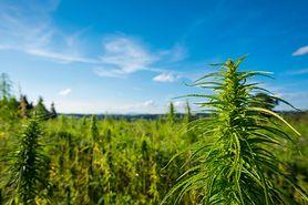 Czy marihuana to narkotyk?