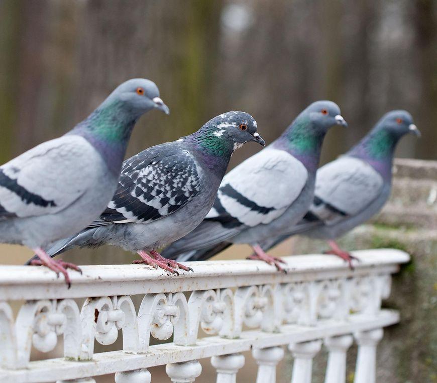gołębie są żywicielami groźnych pasożytów [123rf.com]