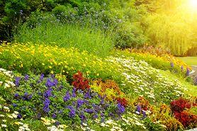 Rośliny, które musisz posadzić na balkonie w tym roku. Odstraszają komary (WIDEO)
