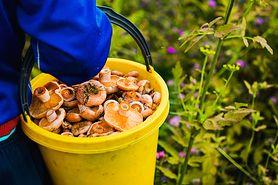 Gołąbek zielonawy - jak wygląda i gdzie rośnie? Czy to grzyb jadalny?