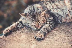 Rasy kotów – alergia, kot syberyjski, Singapura, Sfinks kanadyjski