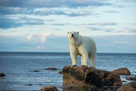 Niedźwiedź polarny. Jak wygląda, czym się żywi i czy jest zagrożony wyginięciem?