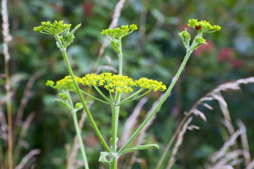 Za zagadkowym poparzeniem stoi powszechna roślina