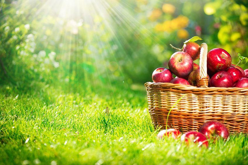 Jabłka są bardzo zdrowe