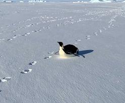 Spacerowali po Antarktydzie. Niespodziewane towarzystwo