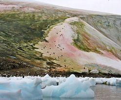 """Zaskakujące odkrycie na Antarktydzie. Badacze zaobserwowali """"zielony śnieg"""""""