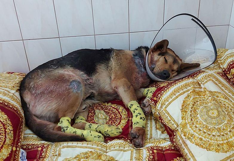 Sołtys ciągnęła psa za samochodem. Grozi jej więzienie