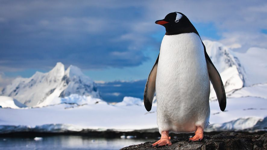 Pingwin na skałach z depositphotos