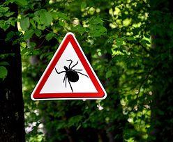 Egzotyczne kleszcze w Polsce. Ich ukąszenie może być bardzo niebezpieczne