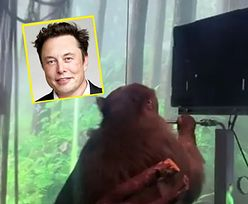 Elon Musk połączył jej mózg z implantem. Małpa zrobiła coś niewiarygodnego