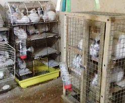 Trzymali 131 szczurów w kawalerce