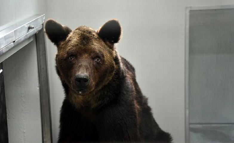 Stary niedźwiedź Mischa został oddany do schroniska niedługo przed swoją śmiercią.