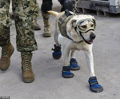 Ratował ofiary trzęsienia ziemi. Słynny pies-ratownik przeszedł na emeryturę