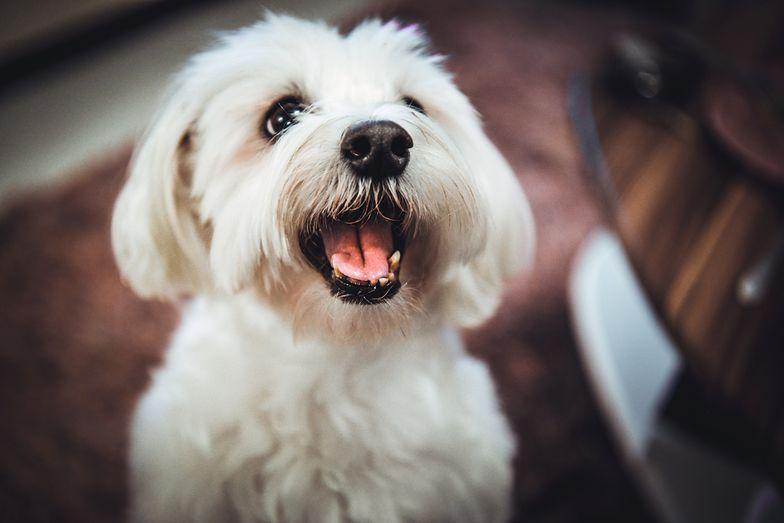 Kalisz - sąd rozdaje maltańczyki. Pieski trafiły do darmowej adopcji.