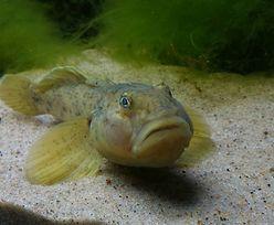 Obcy inwazyjny gatunek ryb na Mazurach. W jeziorach pojawiła się babka bycza