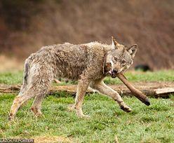 """W Bieszczadach wilki zlikwidowały problem bezpańskich psów. Teraz """"zdejmują"""" te na łańcuchu"""