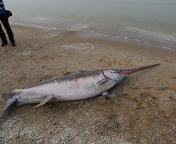Niezwykłe znalezisko na plaży w Jantarze. Morze wyrzuciło na brzeg miecznika