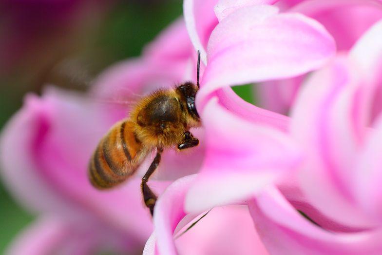 To ulubione rośliny pszczół. Te lubią zapylać