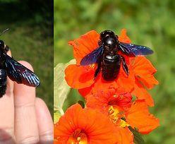 Czarne pszczoły znów w Polsce. Są pożyteczne i niegroźne