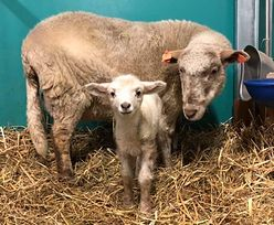 Owce z Katowic hitem internetu. Są honorowymi dawcami krwi