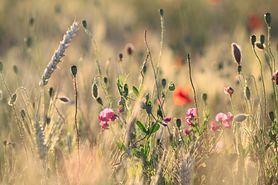 Właściwości lecznicze kwiatów polnych
