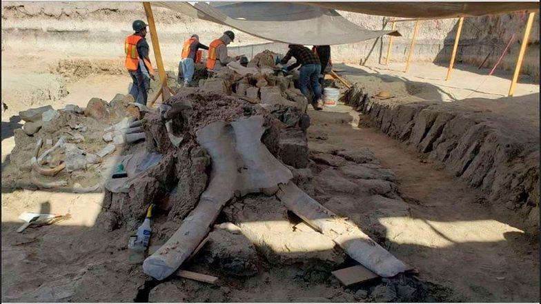 Czaszka jednego ze znalezionych na budowie mamutów.