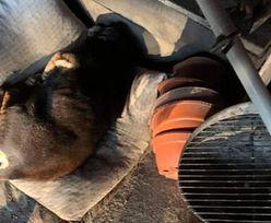 Właścicielka przejechała swojego psa. Cierpiącego wrzuciła do garażu