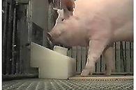 Świnie potrafią grać w gry. Ciekawy eksperyment naukowców z USA