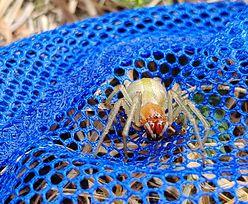 Kolczak zbrojny pojawił się w Wielkopolsce. To bardzo jadowity pająk