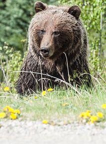 Powstanie film o niedźwiedziu, który zjadł 30 kg kokainy