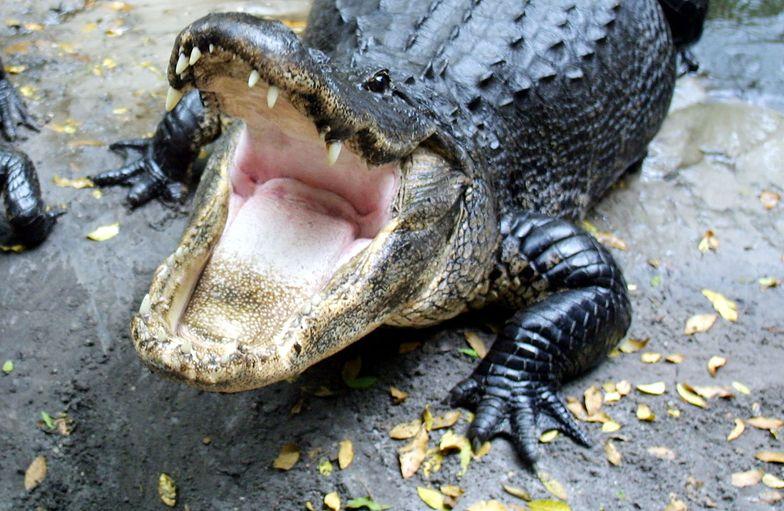 Aligator nawdychał się helu. Zmusili go, by wydawał dźwięki
