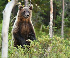 Tatry. Turyści nie mają tam wstępu. Niedźwiedzica i młode wyszły z gawry