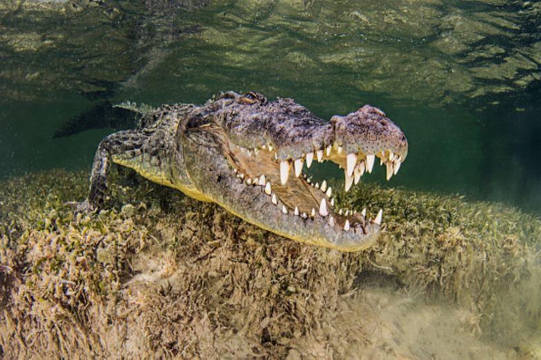 Atak krokodyla. Dziecko zostało wciągnięte pod wodę