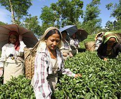 Ceny herbaty poszybują do góry. Susza i wirus dobijają indyjskich rolników