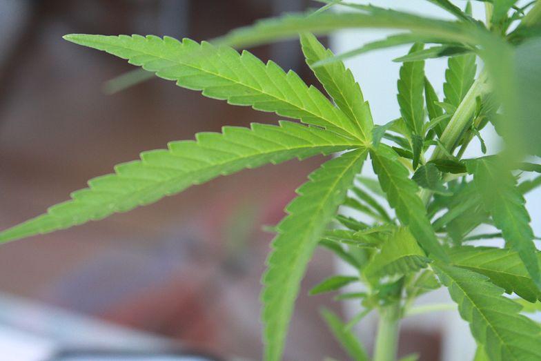 Syntetyczna marihuana jest groźniejsza od zwykłej