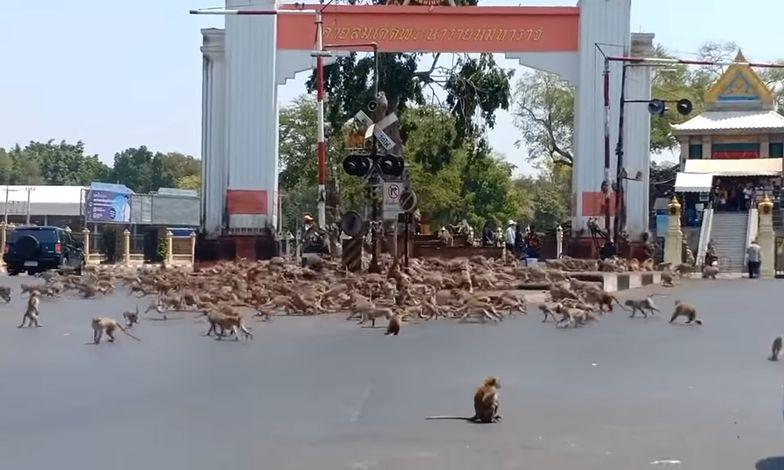 Tajlandia. Setki wygłodniałych małp wyległo na ulice