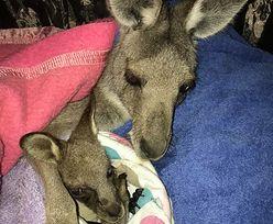 Strzała w brzuchu kangurzycy. Maleństwo było uwięzione przez 2 tygodnie