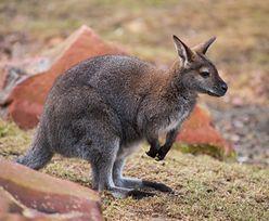 Kangur znaleziony w lesie na Dolnym Śląsku