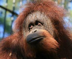 WOŚP wystawia niezwykły obraz. Jego autorką jest orangutanica